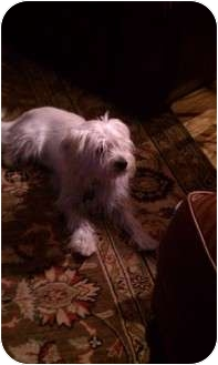 Maltese/Westie, West Highland White Terrier Mix Dog for adoption in Odessa, Florida - SPANKY
