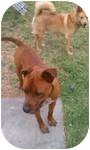 Rottweiler/Pit Bull Terrier Mix Dog for adoption in Winchester, California - Hooch