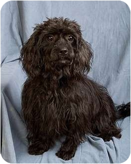 Shih Tzu/Poodle (Toy or Tea Cup) Mix Dog for adoption in Anna, Illinois - SPRITZIE