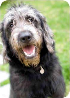 Labradoodle Mix Dog for adoption in Kalamazoo, Michigan - Farley