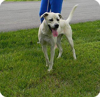 Labrador Retriever/Great Pyrenees Mix Dog for adoption in LaGrange, Kentucky - Shrek