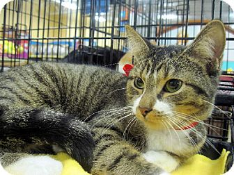 Domestic Shorthair Cat for adoption in Overland Park, Kansas - Wendy