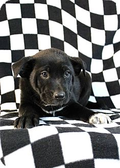 Leonberger/Labrador Retriever Mix Puppy for adoption in Westminster, Colorado - Memphis