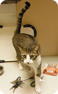 Domestic Shorthair Cat for adoption in Woodstock, Georgia - Mikey