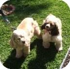 Cocker Spaniel Dog for adoption in Toluca Lake, California - Cody & Dakota