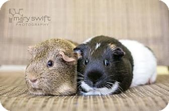 Guinea Pig for adoption in Reisterstown, Maryland - Ferris Wheel