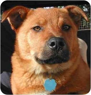 Retriever (Unknown Type)/Shepherd (Unknown Type) Mix Dog for adoption in El Segundo, California - Charro