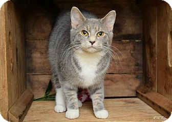 Domestic Shorthair Cat for adoption in Germantown, Maryland - Dancer