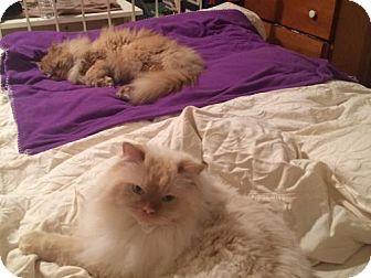 Persian Cat for adoption in Ridgewood, New York - RUPERT & FINN