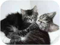 Domestic Mediumhair Kitten for adoption in Arlington, Virginia - Peyton & Piper