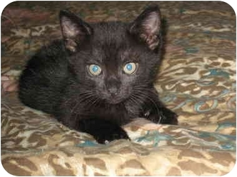 Domestic Shorthair Kitten for adoption in Long Beach, New York - Clemintine