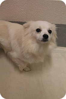 American Eskimo Dog/Pekingese Mix Dog for adoption in Wallingford Area, Connecticut - Eugene