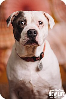 Pit Bull Terrier Dog for adoption in Portland, Oregon - DeeOhGee