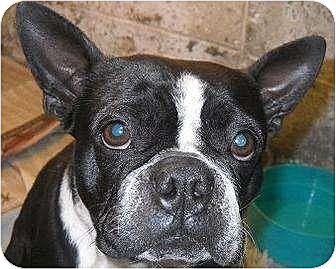 Boston Terrier Dog for adoption in Manhattan, New York - Gigi