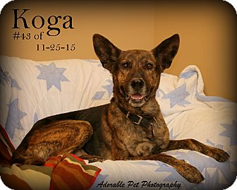 Shepherd (Unknown Type) Mix Dog for adoption in Gaylord, Michigan - Koga