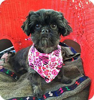 Pekingese/Poodle (Miniature) Mix Dog for adoption in Buffalo, New York - Sonja