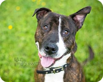 Pit Bull Terrier Mix Dog for adoption in Reisterstown, Maryland - Thor