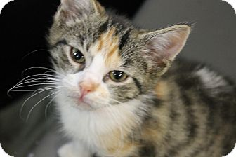 Domestic Shorthair Kitten for adoption in Medina, Ohio - Lilo