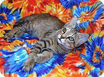 Abyssinian Kitten for adoption in Taylor Mill, Kentucky - Taylor-DECLAWED 4 MONTH KITTEN