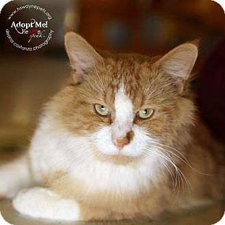 Domestic Mediumhair Cat for adoption in Lyons, New York - Poe