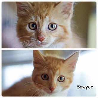 Domestic Shorthair Kitten for adoption in Jackson, New Jersey - Scarlet & Sawyer