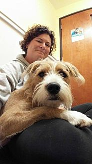 Labradoodle/Terrier (Unknown Type, Medium) Mix Dog for adoption in Florence, Kentucky - Casey