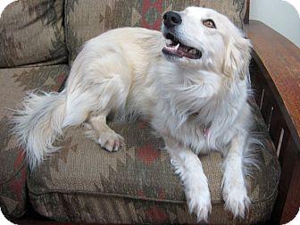Australian Shepherd/Border Collie Mix Dog for adoption in Republic, Washington - Misty