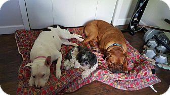 Boxer/Mastiff Mix Dog for adoption in Harrisonburg, Virginia - Brutus reduced fee!