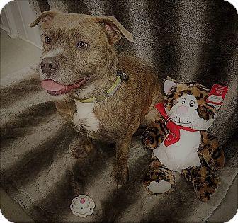Boston Terrier/Staffordshire Bull Terrier Mix Dog for adoption in Lansing, Kansas - Harlow