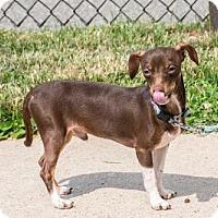 Chihuahua Mix Dog for adoption in Bridgewater, New Jersey - Scorpio