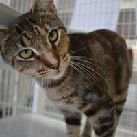 Domestic Shorthair/Domestic Shorthair Mix Cat for adoption in Covington, Louisiana - Zelda