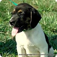 Pug/Beagle Mix Puppy for adoption in parissipany, New Jersey - ALEX/ADOPTED