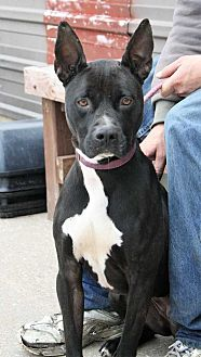 Labrador Retriever Mix Dog for adoption in Fort Madison, Iowa - Kenya