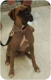Boxer Dog for adoption in Thomasville, Georgia - Hamburglar