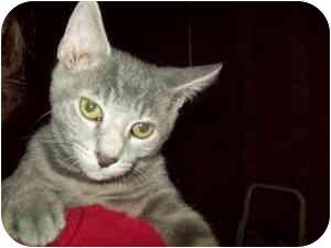 Domestic Shorthair Cat for adoption in Tipton, Iowa - Tinker