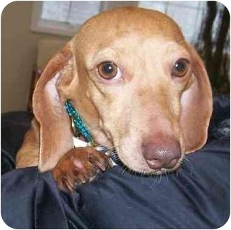 Dachshund Dog for adoption in Oak Ridge, New Jersey - Holly- Puppymill