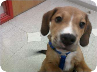 Beagle/Hound (Unknown Type) Mix Puppy for adoption in Cincinnati, Ohio - Crockett