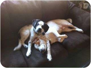 Pointer Mix Dog for adoption in Madison, Wisconsin - Boo