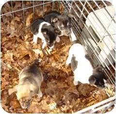 Rat Terrier Puppy for adoption in Franklin, West Virginia - Zest, Zyngo, Zone & Zipper