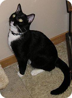 Domestic Shorthair Cat for adoption in Glenwood, Minnesota - Vincent