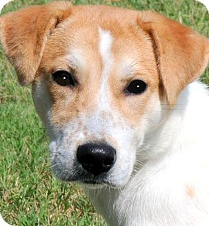 Labrador Retriever/Australian Cattle Dog Mix Puppy for adoption in Wakefield, Rhode Island - BRANDY(ADORABLE PUPPY!!