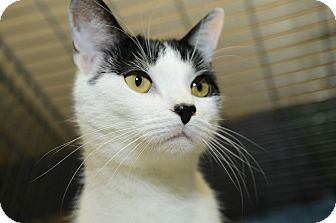 Domestic Shorthair Cat for adoption in New York, New York - Harry