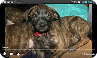 Plott Hound/Boxer Mix Puppy for adoption in North Brunswick, New Jersey - Jersey