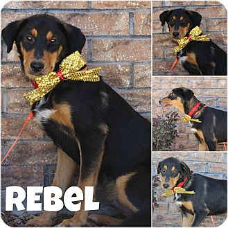 Rottweiler Mix Dog for adoption in Pittsburgh, Pennsylvania - Rebel