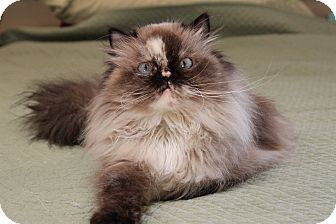 Himalayan Cat for adoption in Gainesville, Virginia - Willow