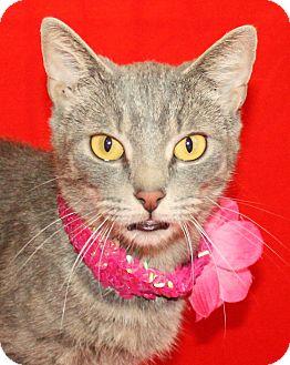 Domestic Shorthair Cat for adoption in Jackson, Michigan - Jenna