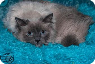 Ragdoll Cat for adoption in Divide, Colorado - Rocky