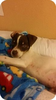 Jack Russell Terrier/Fox Terrier (Smooth) Mix Puppy for adoption in Santa Rosa, California - Bentley
