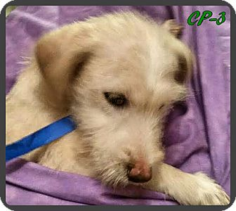 Norwich Terrier Mix Puppy for adoption in Ahoskie, North Carolina - CP-3