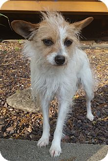 Jack Russell Terrier/Chihuahua Mix Dog for adoption in Bridgeton, Missouri - Valentine-Adoption pending